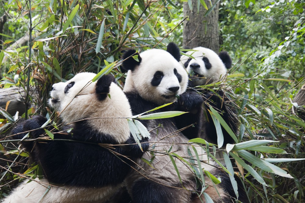 Giant Pandas Breeding in Chengdu<small>© Wikimedia Commons / Chensiyuan [CC BY-SA 4.0]</small>