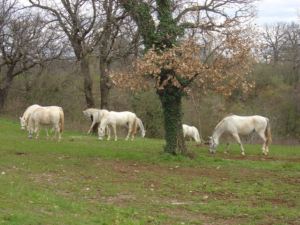 Lippizaner Horses<small>© Wikimedia Commons / Husond [CC BY-SA 4.0]</small>