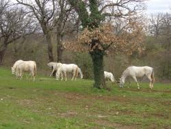 Lippizaner Horses<small>&copy Wikimedia Commons / Husond [CC BY-SA 4.0]</small>