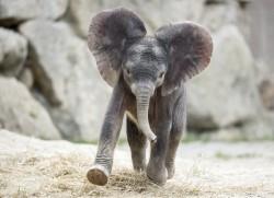 Schönbrunn Zoo - Elephant Baby Kibali<small>© Tiergarten Schönbrunn / Daniel Zupanc</small>