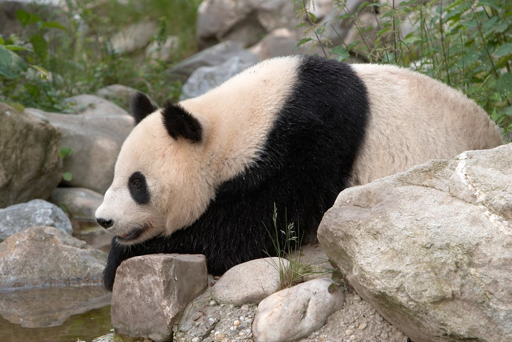 Schönbrunn Zoo - Giant Panda Bear<small>© Wikimedia Commons / Werner Hölzl [CC-BY-SA-3.0]</small>